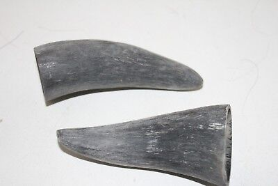2 Cow horn tips ....  x2b80 ... Raw, unfinished cow horns.,.....