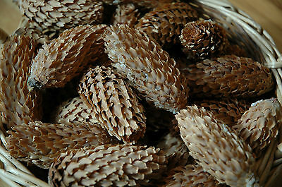 100 Real Blue Spruce Pine Cones Natural Pine Cone Great Crafts Wreath!