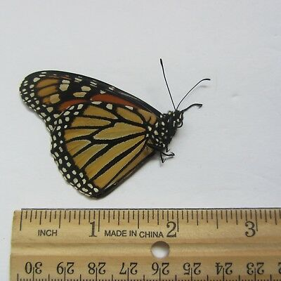 Real Monarch Butterfly Wings DANAUS PLEXIPPUS Insect, genuine butterfly