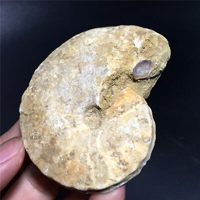 120.6G Coarse specimens of natural conch fossils in Madagascar  W1358