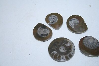 5 Ammonite buttons,   v5a7n,    Polished fossils....