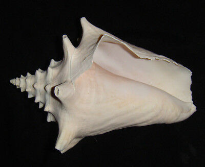 """Large Conch Shell 7"""" Beach  Nautical Decor Weathered"""