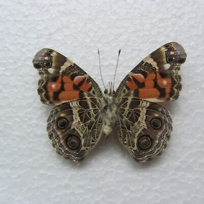 One Real Butterfly American Painted Lady Vanessa virginiensis unmounted Wings