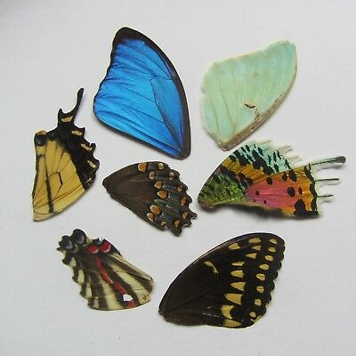 Real Blue morpho butterfly didius real Actias luna Real sunset moth rhipheus lot