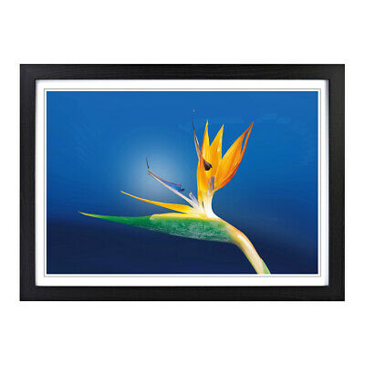 Flower Caudata Bird of Paradise Floral Wall Art Framed Picture Print Size A2