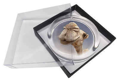 Camels Intrigued by Camera Glass Paperweight in Gift Box Christmas Pres, CAM-1PW