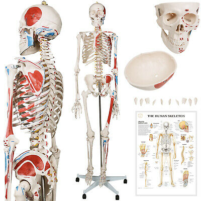 Human Life Size Skeleton Anatomical Model 181.5 cm 200 Bones Teaching Learning