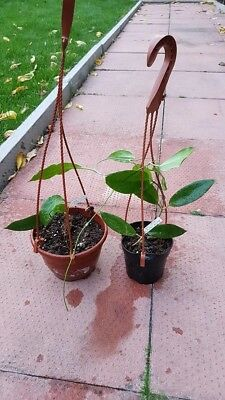 HOYA  STONEANA  SMALL PLANTS   IN  10CM HANGING BASKET  HOUSE PLANT