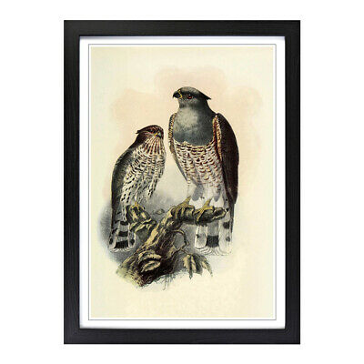 Framed Picture Print A2 Vintage Natural History Cuckoo Falcon Animal Wall Art