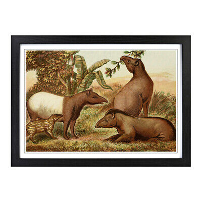 A2 Framed Picture Print Vintage Natural History Indian & South American Tapirs