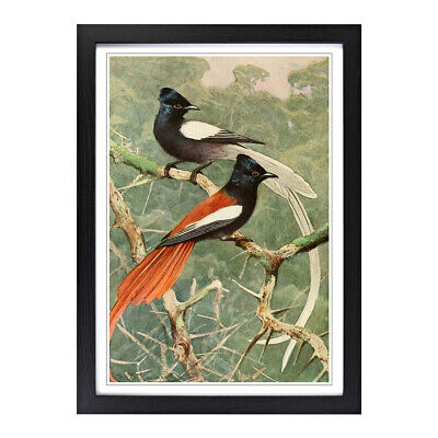 Framed Picture Print A2 Vintage W Kuhnert Birds of Paradise Animal Wall Art