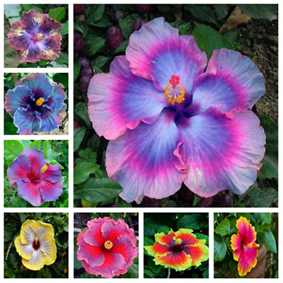 gardening giant hibiscus exotic coral flower 100 seeds mix rare blue-pink WLT