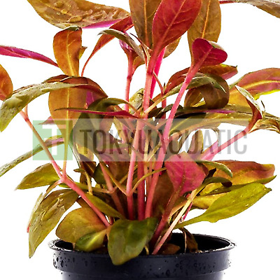 Alternanthera Reineckii Rosaefolia Potted Freshwater Red Live Aquarium Plants