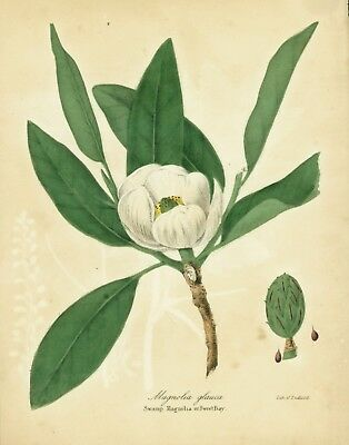 Antique Botanical Print - Sweetbay Magnolia - Color Lithograph - 1843