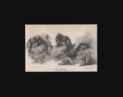 Antique Pekingese Dogs Print by Maud Earl 1912 8x10 Matted