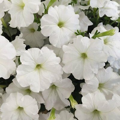 Petunia Seeds Candypops White 50 Pelleted Petunia Seeds Candy Pops White