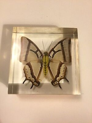 Real Butterfly Clear Acrylic Block Taxidermy Desktop Paperweight DuPont Premium