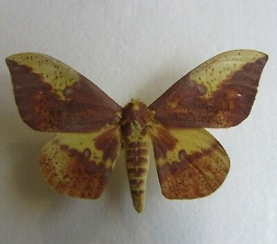 Real Imperial Moth Eacles imperialis Unmounted wings closed male NC
