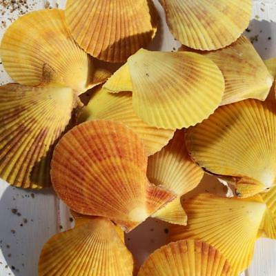 Yellow Pectin Scallop Shell | Paired Front & Back | Beach Shells | Natural Decor
