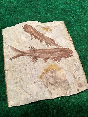 Quality DOUBLE Lycoptera Fish Fossil Late Jurassic World Period Nice Specimen #M