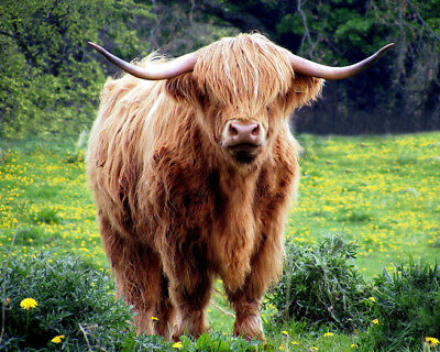 SCOTTISH HIGHLAND COW Glossy 8x10 Photo Print Wall Art Poster Brown Hairy Cattle