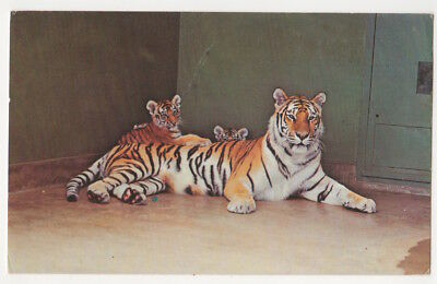 Colorado Springs c1965 Siberian Tigers, Cheyenne Mountain Zoological Park, Zoo