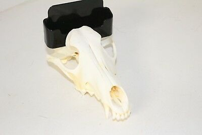 Coyote skull business card holder,      .... v389