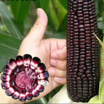 20pcs Organic easy grow purple black Waxy corn Vegetable seeds