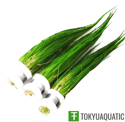 3X Dwarf Hairgrass Eleocharis Parvula Bunch Mini Freshwater Live Aquarium Plant