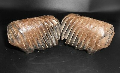 Two Woolly Mammoth molars  Pleistocene FOSSIL Museum Grade Tooth  fossil