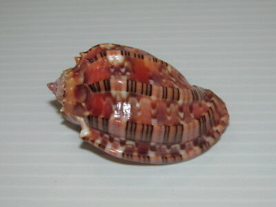 Seashells  Hapra Harpa, Deep Red, Shells  Cl50806