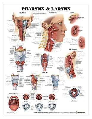 Pharynx and Larynx - ENT * Anatomy Poster * Anatomical Chart Company
