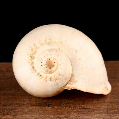 Extra Large Melon Shells Conch Natural Seashell 19-20cm Beach Home Decoration