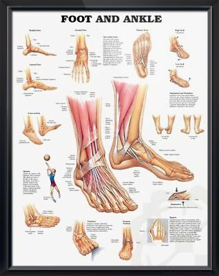 Foot and Ankle * Podiatry Orthopedic * Anatomy Poster * Anatomical Chart Company