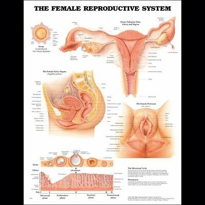 The Female Reproductive System * OB * Anatomy Poster * Anatomical Chart Company