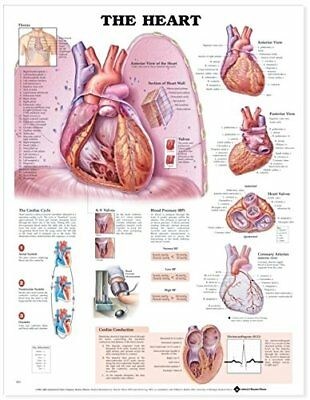 The Heart * Cardiology * Anatomy Poster * Anatomical Chart Company