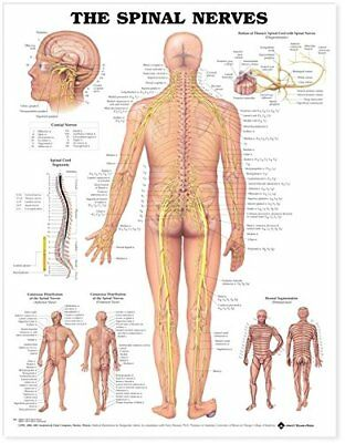 The Spinal Nerves * Neurology * Anatomy Poster * Anatomical Chart Company