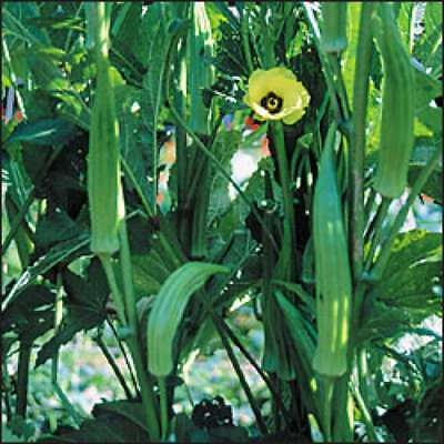 Okra Clemson Spineless, 50 seeds non-gmo  Heirloom