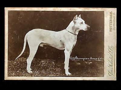 Superb 1800's Cabinet Card Photo - Early Champion Great Dane Dog From Rotterdam