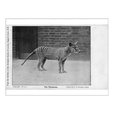 "16""x12"" (41x30cm) Print of Tasmanian Tiger or Thylacine from"