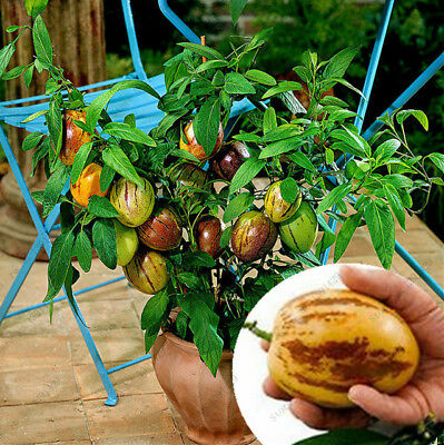 100 Rare Pepino Dulce Melon Tree Seeds High Viable Bonsai Tree Seed Exotic Plant