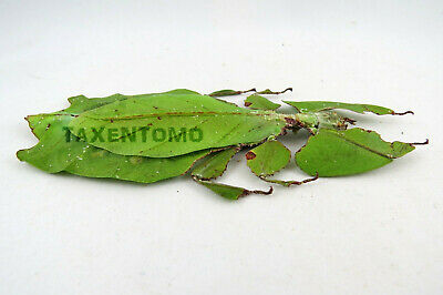F Giant Malaysian Leaf Insect Phyllium Giganteum Green Specimen
