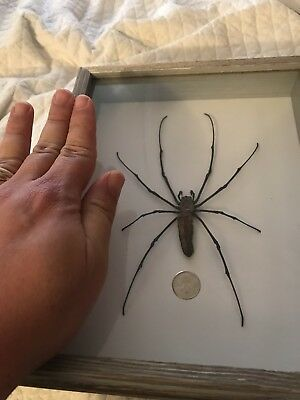 Real Giant Golden Orb Weaver Spinder From Asia Taxidermy Insect