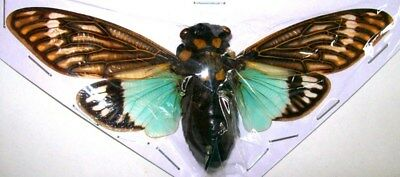 Tosena splendida turquoise cicada Taxidermy REAL Spread Insect