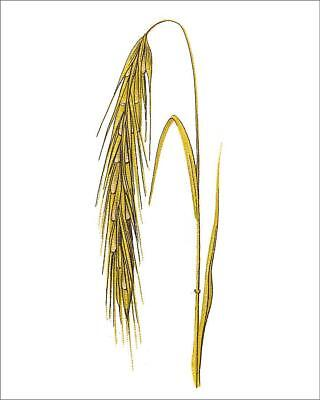 """18310029 10""""x8"""" (25x20cm) Print of Rye (Secale cereale)"""