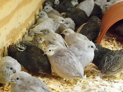6+ 4 Extra Fresh Fertile Button Quail Hatching Eggs