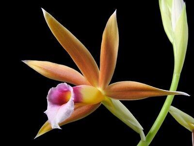 Orchid, Phaius wallichii, 4 bulbs/shoots, 10 x 20 cm, young plant
