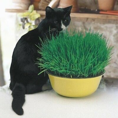 Cat Grass Seeds EU Standart Pot Indoor Easy Fast Grow