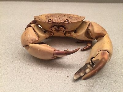 Rare Crab Taxidermy.
