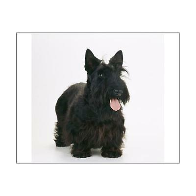 "1825445 10""x8"" (25x20cm) Print of SCOTTISH TERRIER"